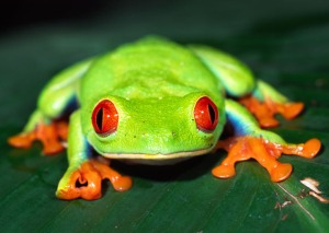 red eyed jungle tree frog